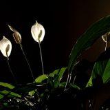 kamerplanten zuiveren de lucht